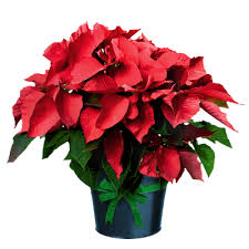 Luke 4:18 Poinsettia Fundraiser & Proceeds Support St. Vincent de Paul (Aurora & Oakridges)